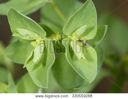 Petty Spurge - Euphorbia Peplus  Common Garden Weed With Wasp