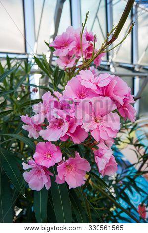 Lush Clusters Of Pink Oleander Flowers. Vertical Photo.