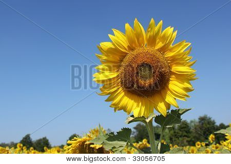 Big Sunflower In The Field And Sky
