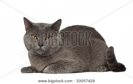 Portrait of Chartreux cat, 1 and a half years old, in front of white background
