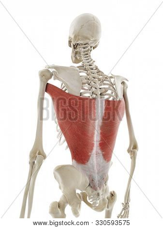 3d rendered medically accurate illustration of the latissimus dorsi