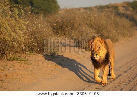 The Huge Lion Male (panthera Leo) With Black Mane Walking On Dry Sand Of Kalahari Desert In Morning