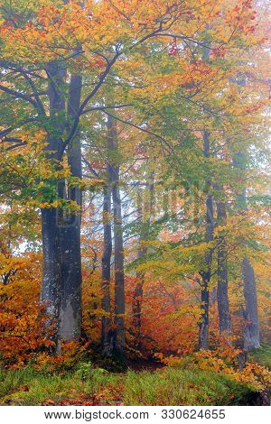 Beech Trees In Colorful Foliage. Mysterious Weather Condition On A Foggy Morning. Beautiful Nature S
