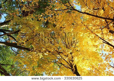 poster of Conceptual image of hope, change, and new beginnings seen in colorful orange and yellow leaves turning under cooler weather, ready to fall to the ground below and make ready for Winter.