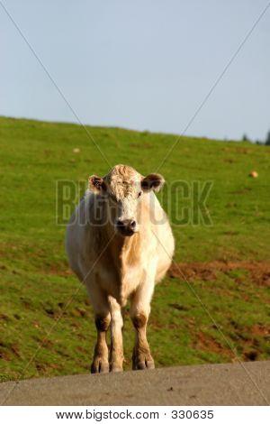 Clueless Bovine