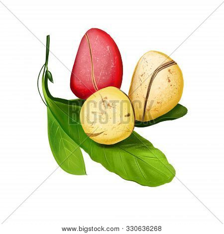 Kola Nut Fruits With Leaves Illustration Isolated