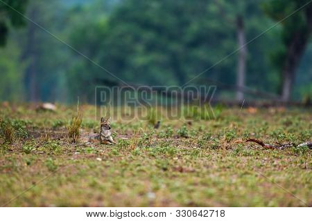 Nature Painting Or Scenery By Indian Jackal Canis Aureus Indicus Or Himalayan Jackal Or Golden Jacka
