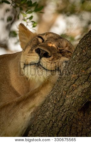 Close-up Of Lioness Lying Asleep On Tree