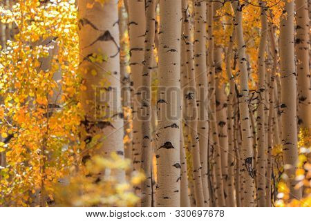 Row of Aspen trees in autumn time