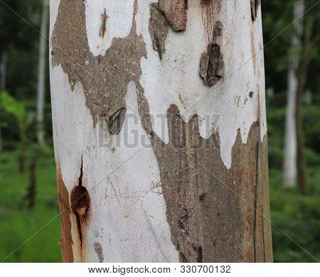 Eucalyptus Tree.the Body Of The Tree