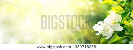 Web Banner 3:1. Border From Apple Tree Blossom With Sun Lights. Spring Background. Copy Space