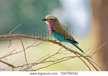Lilac-breasted Roller - Coracias Caudatus - Colorful Magenta, Blue, Green Bird In Africa, Widely Dis