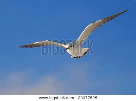 White Seagull soaring in the blue sky poster