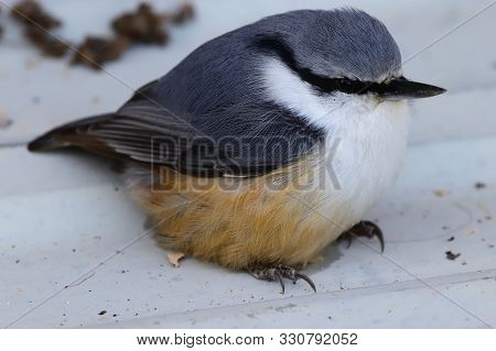 Eurasian Nuthatch  Or Wood Nuthatch (sitta Europaea) Closeup. Small Passerine Bird In Nature.
