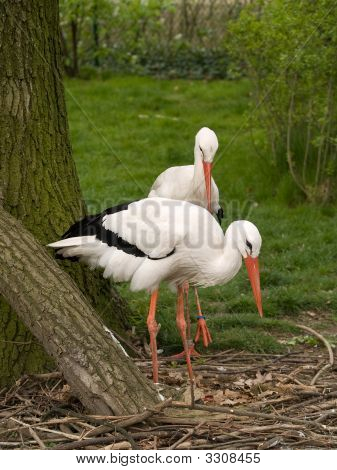 Two Stork