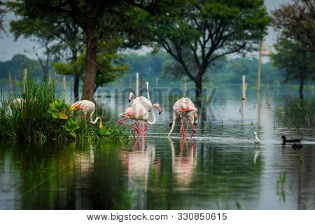 Greater Flamingo Flock In Natural Habitat In A Early Morning Hour During Monsoon Season. A Beautiful