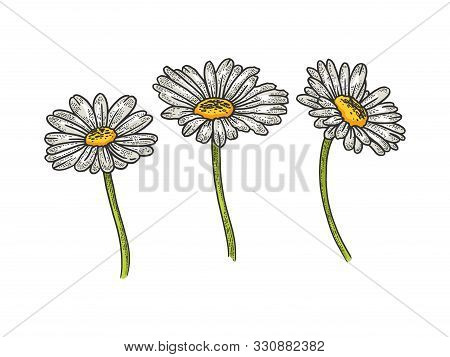 Chamomile Daisy Flower Sketch Engraving Vector Illustration. T-shirt Apparel Print Design. Scratch B