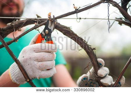 A Man Cuts Grapes Close-up. Gardener And Pruner For Pruning Grapes. Autumn And Spring Pruning Of Gra