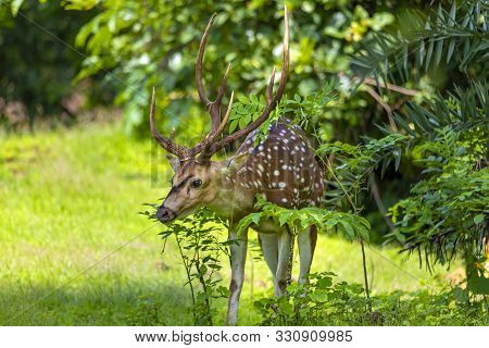Cheetal Or Chital Deer, Also Known As Spotted Deer In Lush Forest Meadow. Deer Family