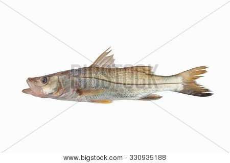Big Bouche Sea Fish Trinidad Caribbean Isolated In White Background Silver With Black Stripe