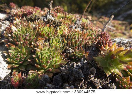 Rojnik - Sempervivum, Rock Plants From Limestone Rocks In Poland On The Krakow-czesochowska Upland