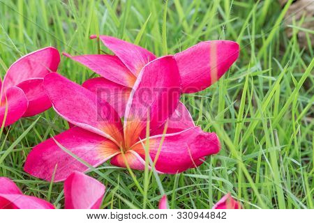 Plumeria Pink Flowers The Beautiful On Green Grass. Close Up