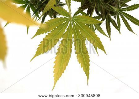 Marijuana Plant. Cannabis Sativa Plant with Female Flowers. Isolated on white. Room for text. Cannabis and Marijuana are now legal in many of the United States for Recreational and Medical purposes.