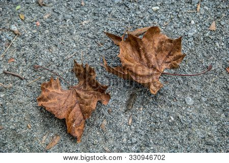 Two Fallen Leaves Laying Curled Up On The Asphalt Decomposing In Autumn
