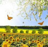 Summer sun over the sunflower field with butterflies poster