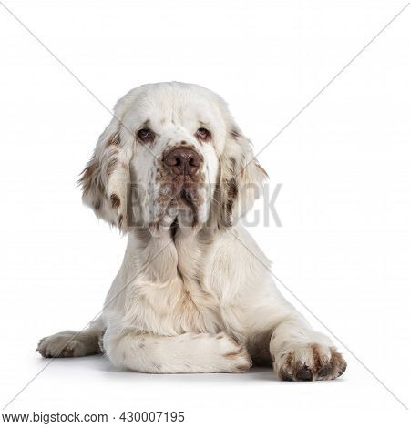 Cute Clumber Spaniel Dog Pup, Laying Down Facing Front. Looking Towards Camera With The Typical Droo
