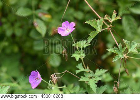 Bloody Geranium Flowers. Geraniaceae Alpine Perennial Grass.