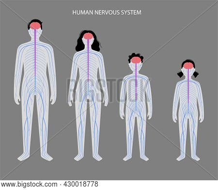 Human Nervous System, In Man, Woman And Child Silhouette. Network Of Nerves Cns And Pns Systems. Bra
