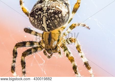 Big Arachnid Spider In Its Spiderweb Silent Waiting For Victims. Disgusting Animal For Arachnophobic