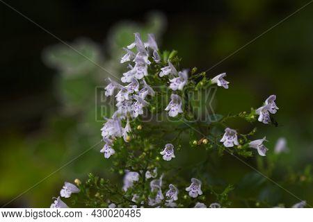 Lesser Calamint (calamintha Nepeta) Flowers. Lamiaceae Perennial Herbs.