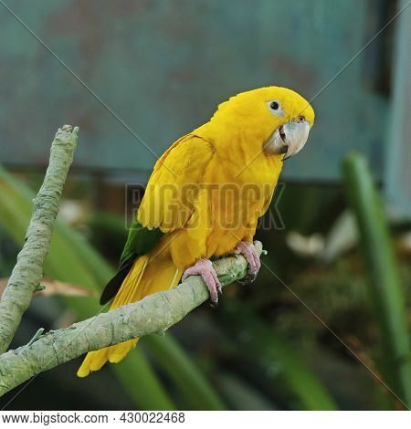 The Golden Parakeet Or Golden Conure, Is A Medium-sized Golden-yellow Neotropical Parrot, Also Known