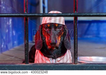 Portrait Of Severe Dachshund Dog In Striped Prison Uniform With Cap, Sitting Behind Bars For Crimes