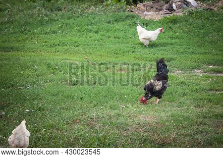Selective Blur On A Black Rooster, Or Cock, Standing In The Middle Of A Farmyard, Surrounded By Youn