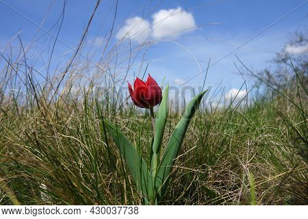 A Single Red Wild-growing Tulip In The Steppe Against The Background Of A Blue Sky With White Clouds