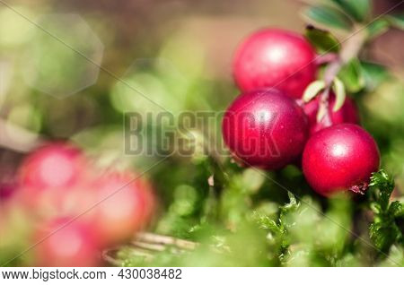 Bush Of Ripe Red Cranberries Close Up On Green Moss