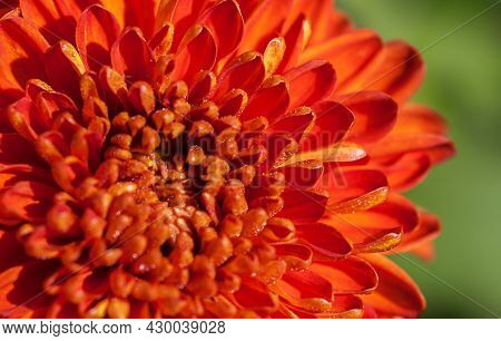Red Chrysanthemum Close Up With Dewdrops In The Morning Light