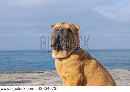 A Funny Puppy Dog of The Shar Pei Breed Sits On The Beach Against The Background Of The Sea.