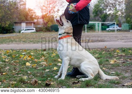 The Dog Handler Is Engaged In Obedience With A Young Labrador Puppy.