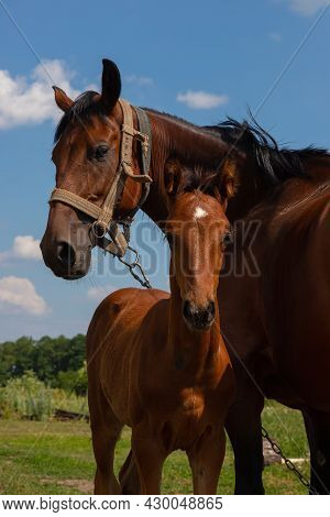 Stallion With A Mare Grazing In A Meadow. Countryside. Summer.