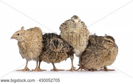 Flock Of Four Different Colored Quail Birds, Standing Beside Each Other On A Row. Heads Facing Camer