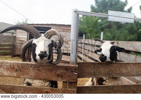 Close-up Of Sheep Jacob, Who Looks Into The Frame And Makes A Baa Sound At The End Of The Video. The