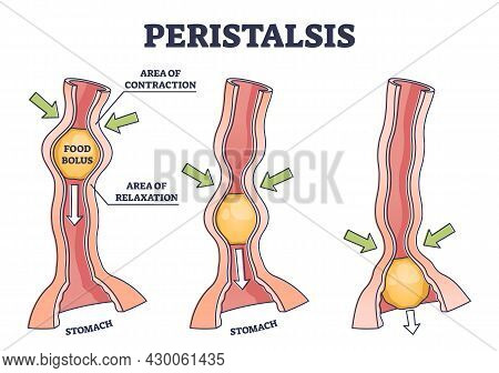Peristalsis As Anatomical Food Swallow Process Explanation Outline Diagram. Educational Labeled Heal