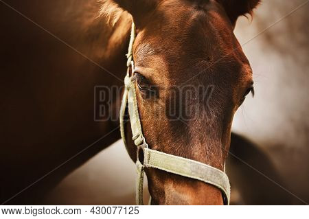 Portrait Of A Cute Bay Colt With A Halter On His Muzzle, Standing Next To His Mother And Illuminated