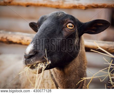 Portrait Of A Cute Fluffy Sheep With Dark Fur On Its Muzzle, Which Eats Dry Hay In A Paddock On A Fa