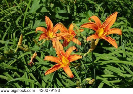 Group Of Four Orange Flowers Of Day Lilies In Mid June