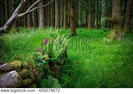 A Lone Bunch Of Purple Foxglove Wildflowers Growing Among The Trunks Of Pine Trees On A Forest Floor
